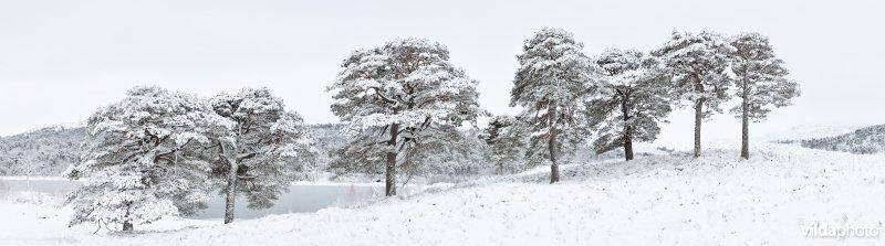 Grove dennen in de sneeuw