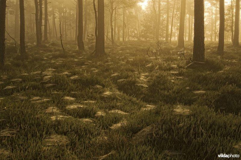 Ochtendsfeer in een kraaiheide-grove dennenbos met spinnenwebben op de kraaihei