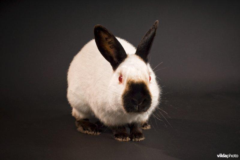 Afbeeldingsresultaat voor rus konijn