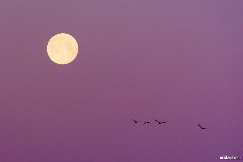 Ganzen bij volle maan