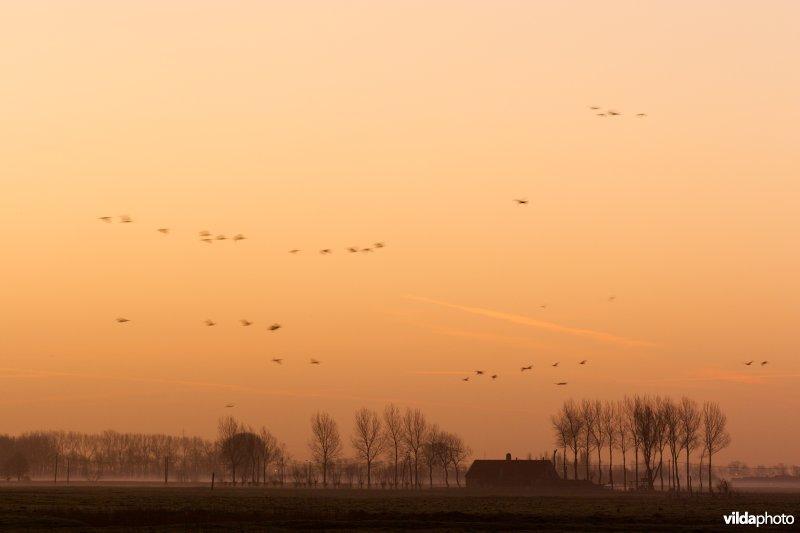 Ganzen in het ochtendlicht