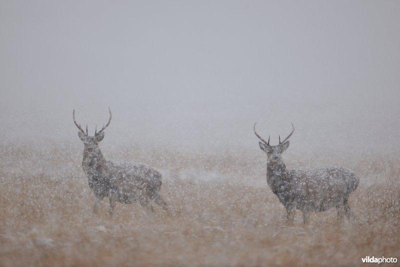 Edelherten in een sneeuwbui