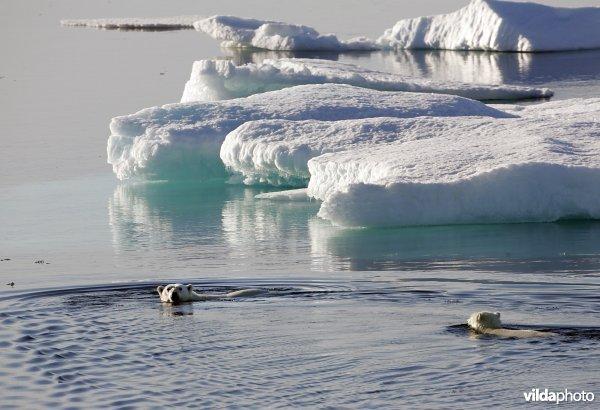 Twee zwemmende ijsberen in Groenland