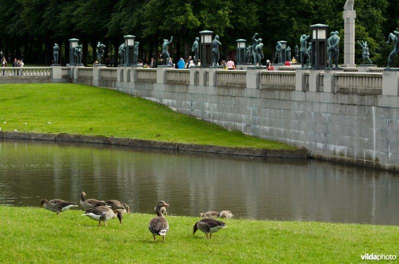 Grauwe ganzen in Vigelandpark, Oslo